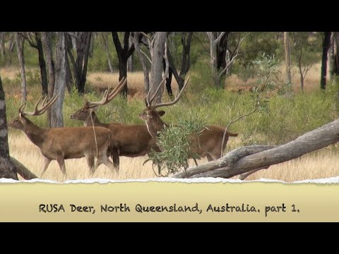Deer Compilation 1, Rusa Deer, Deer Hunting Australia.Part 1.
