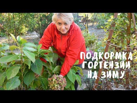 ГОРТЕНЗИЯ. ПОСЛЕДНЯЯ ПОДКОРМКА ПЕРЕД ЗИМОЙ. Мои цветы. Мой опыт.