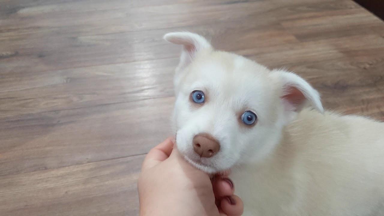 Hans  the Pomsky Puppy