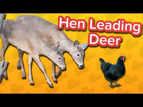 Hen Leading Deer & Head-Butting Sheep! // Funny Animal Compilation