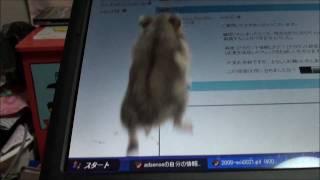 パソコンの上で遊ぶハムスター、ちょっと目を離した隙に…!