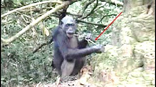 This Scientists Observed A Giant Jungle Chimpanzee Society & Said They Are Now Doing This