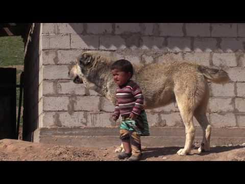 видео: tajik sagi dahmarda tayson from dangara/ таджикский волкодав Тайсон из Дангары