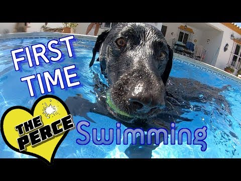 Cute Dog 1st Time in Swimming Pool - Percy The Black Labrador - Cute Dog