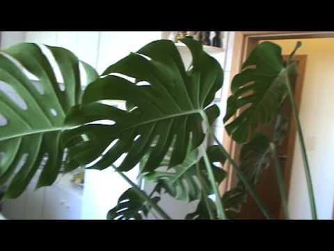 Filodendro ou imb plantas de sombra youtube - Flores de sombra ...