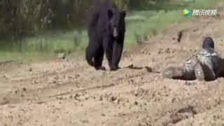 黑狗熊饥肠辘辘欲用绝命扑杀死成年男子,却被成年男子用奇招吓退 thumbnail