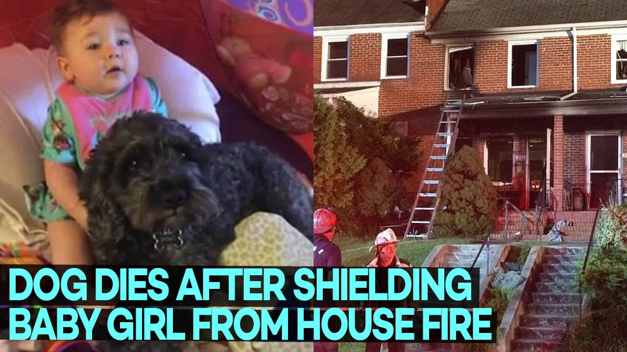 Dog Saves Life Of Little Girl From House Fire By Lying On -9079