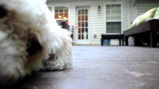 Welsh Corgi / Bichon Frise Mix Camera Shy Dog