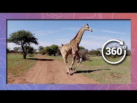 Giraffe Running Past Camera in 360 4K (Wildlife and Nature)