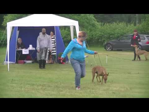 Pharaoh hound / Northgate's Red Rabbit Hunter - Muumi