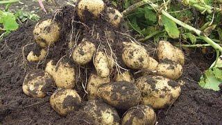 Большой урожай картофеля. Часть 1