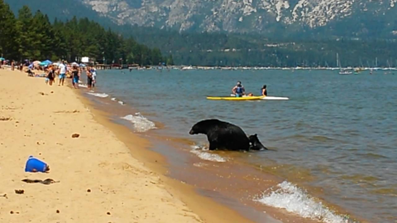 Mother Bear And Her Cubs On The Beach Pope Lake Tahoe Ca Iii You