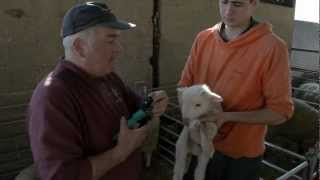 How to castrate a newborn lamb