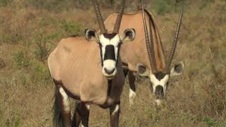SOUTH AFRICA oryx (or gemsbok)