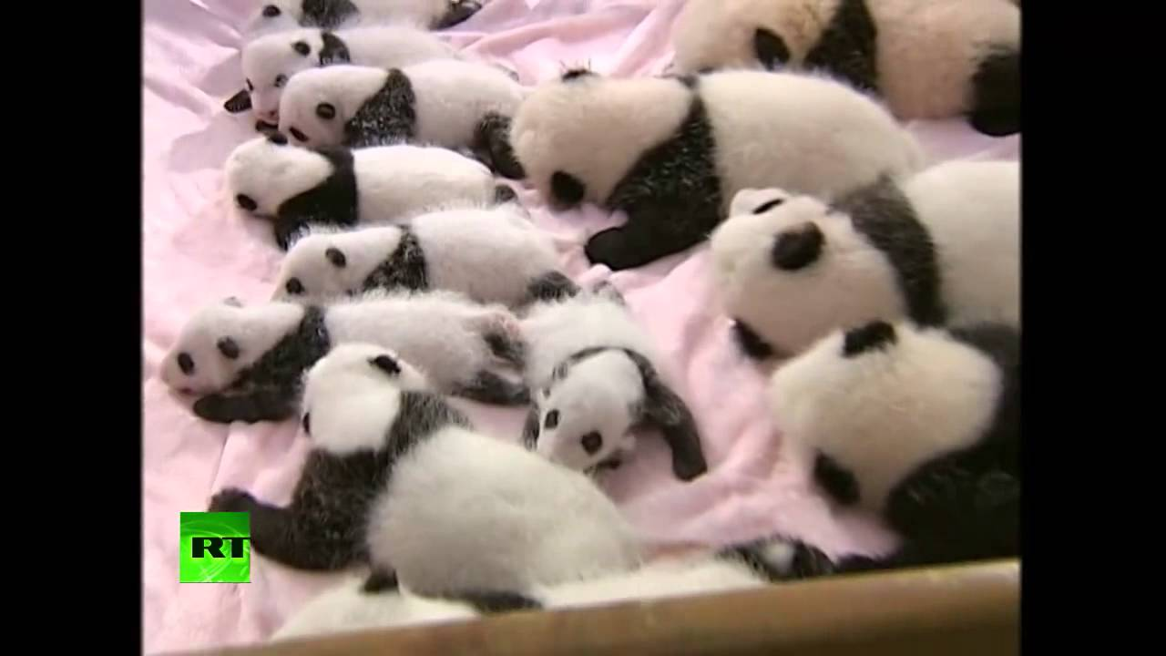 Presentan En Sociedad A 14 Osos Panda Bebes Nacidos Por Inseminacion