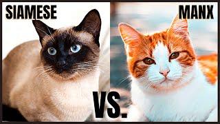 Siamese Cat VS. Manx Cat