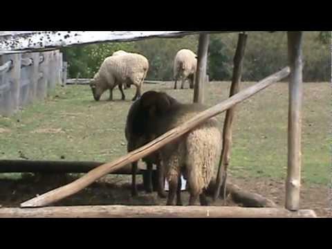 hog island sheep youtube