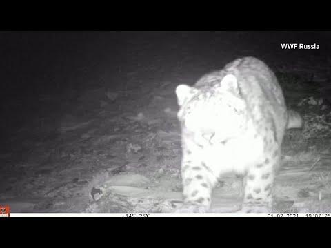 Snow leopard caught on camera in Kazakhstan