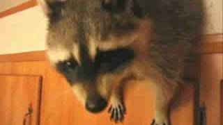 Raccoon Destroys Kitchen