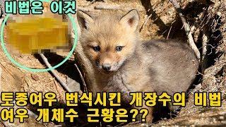 멸종한  토종여우 번식성공시킨 개장수의 비법은?한국 여우 근황..ㄷㄷ
