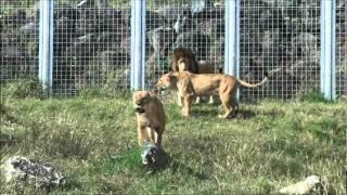 伊豆のアニマルキングダムの♀ライオンさんが、狩りの真似事をして遊んで...