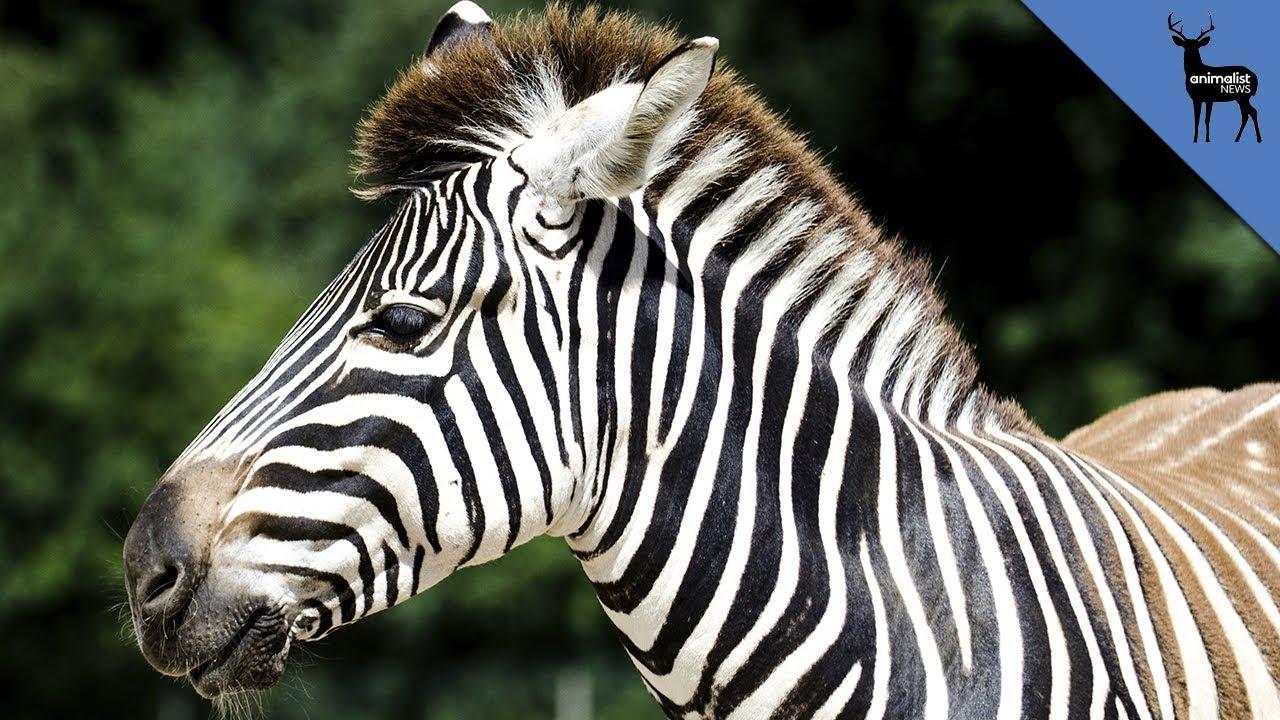 why do zebras have stripes youtube