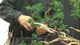 Shaping Bonsai 2012