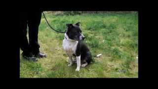Staffie At The Scottish Spca Glasgow Animal Rescue And Rehoming Centre