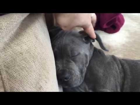 Introducing Azul, cute 2 months old italian mastiff puppy (cane corso)