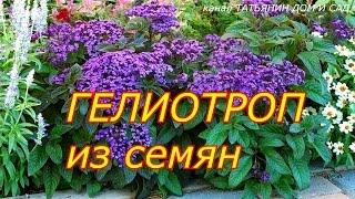 видео Цветок Гелиотроп