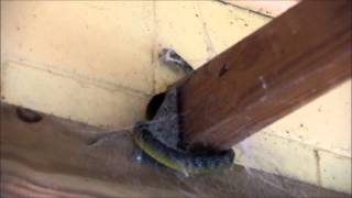 Green Tree Snake caught in Spider