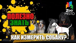 Полезно знать с ZooMISTO | Как измерить собаку?