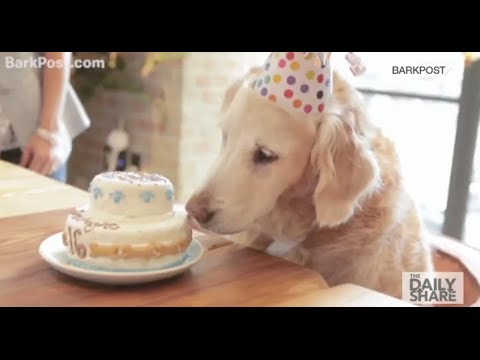 A 9 11 Rescue Dog Given HUGE 16th Birthday Party In NYC