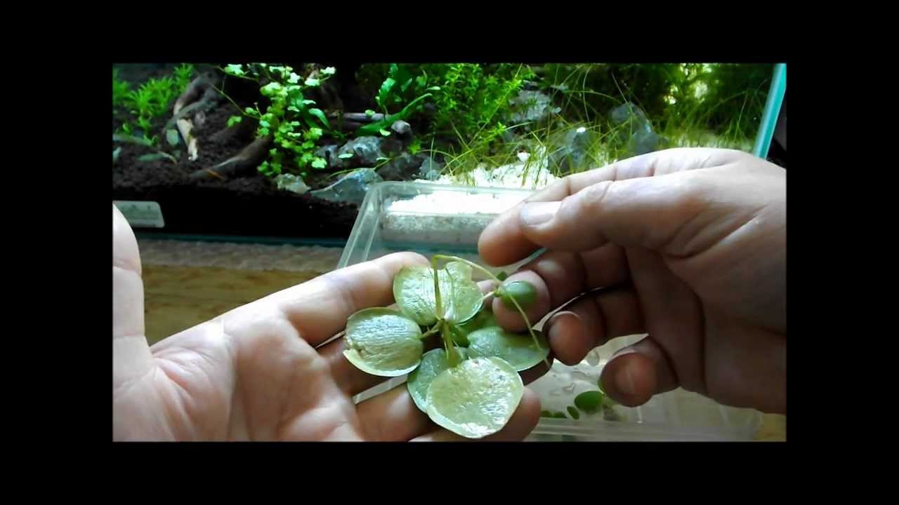 Salvinia Floating Plant