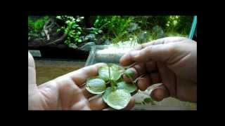 Aquarium Plant Discussion About Floating Plants Frogbit, Salvinia Natans And Dwarf Water Lettuce