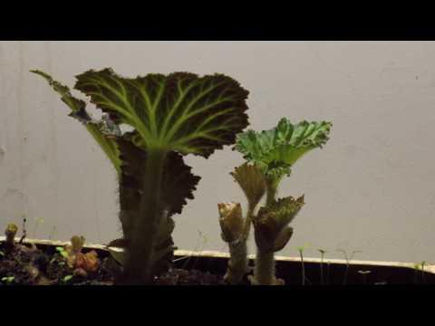 Begonia Timelapse