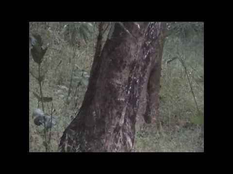 Langur Alarm Calls in Bandhavgarh National Park