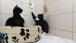 Коты-подростки играют с перьями