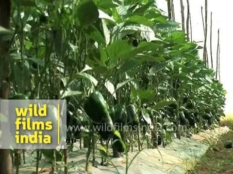Capsicum cultivation