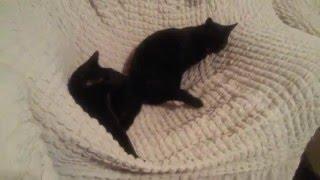 ласки черных котов