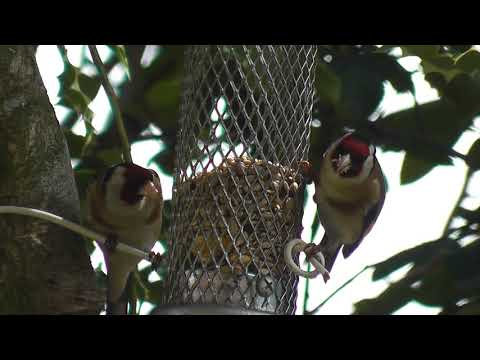 Pair of Goldfinches: July 2013 Lancashire- UK