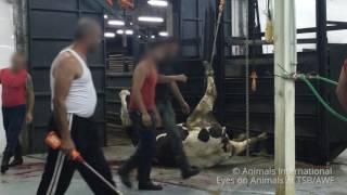 Enquête : les animaux français exportés et abattus au Liban et en Turquie