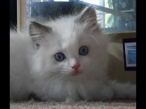 Ragdoll Kitten Blue Bicolor at 6 weeks old