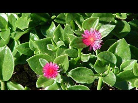 Razmnozavanje jadranska lepotica Cveće Nova