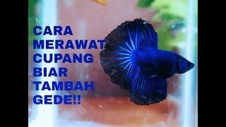 Cara Merawat Ikan Cupang / #BettaFish
