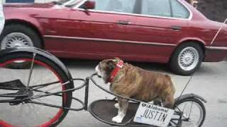 Rosie The Bulldog Tours Belmont Shore In Long Beach, Calif.