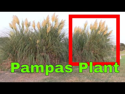 Pampas Grass Blowing in the Wind Landscaping Plant Garden Cortaderia selloana