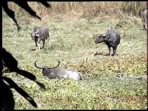 Herd of water buffalo at a marshland in Kaziranga