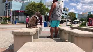 "Mini Labradoodle "" Zoe "" & "" Bunker "" 