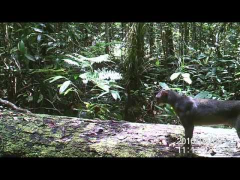 Camera trap video of bay cat in Central Kalimantan (Indonesia Borneo)